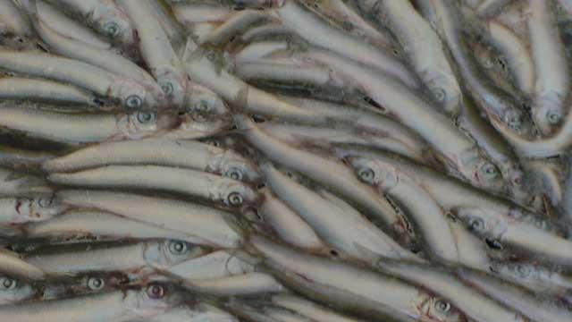 Лов и переработка рыбы